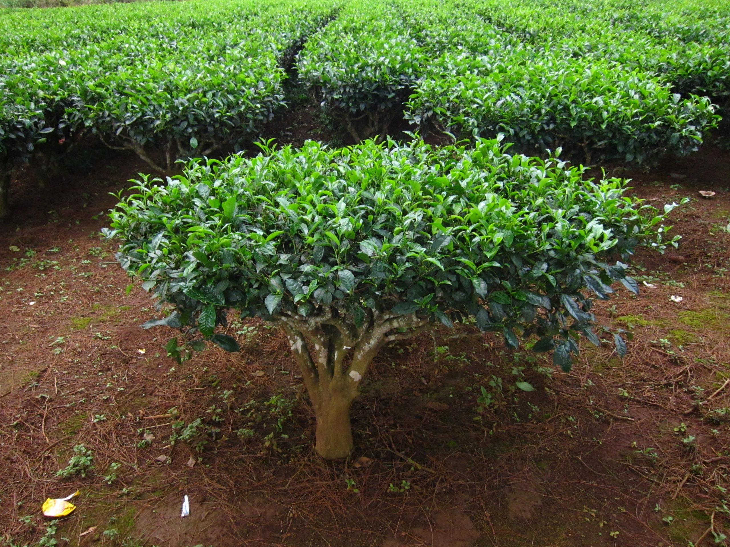 camelia sinensis theeplant